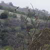 """Swallow Tree"", Joseph D Grant County Park, 29-March-2014"