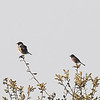 European Stonechat (left) with Dartford Warbler (right)