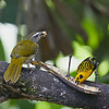 Buff-throated Saltator with Golden Tanager
