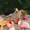 Clay-colored Thrush and Passerini's Tanagers (male and female)