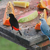 Passerini's Tanager and Blue-gray Tanager
