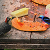 Black-cheeked Woodpecker and Red-legged Honeycreeper