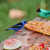 Green Honeycreeper and Red-legged Honeycreeper