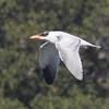 Juvenile Caspian Tern