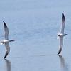 Chasing Caspian Terns