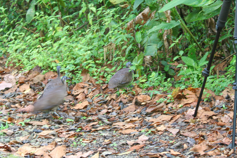 Three Great Tinamous Crossing the Trail