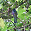 Collared Trogon (back side)