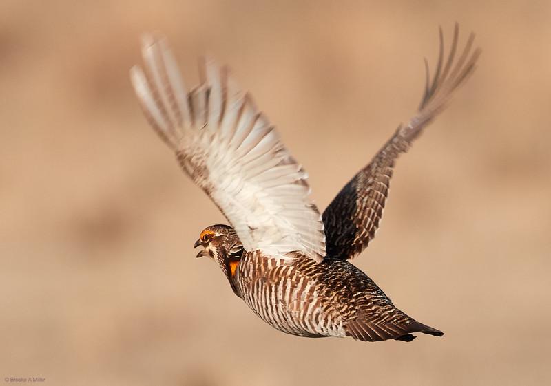 Greater Prairie-Chicken in Flight (Life Bird)