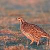 Greater Prairie-Chicken (female) (Life Bird)