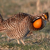 Looks Kind of Painful, Doesn't It?  (Greater Prairie-Chicken) (Life Bird)