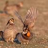Greater Prairie-Chicken (Life Bird)