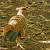 Kalij Pheasant (female)