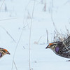 Sharp-tailed Grouse Face Off (Life Bird)