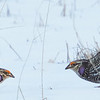 Sharp-tailed Grouse Face Off