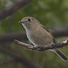 Hutton's Vireo, Buttes Road, 10-June-2014