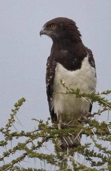 Black-breasted Snake-Eagle