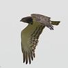 Black-breasted Snake-Eagle in Flight