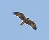 Booted Eagle (dark form)