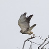 Broad-winged Hawk (juvenile)