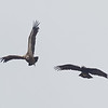 Spanish Eagle Chasing After a Eurasian Griffon