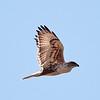 Ferruginous Hawk at Mendoza Ranch