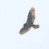 Ferruginous Hawk (light juvenile) Overhead