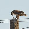 Ferruginous Hawk with Prey