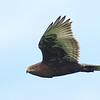 Flying Ferruginous Hawk (dark morph)