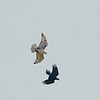 Interaction between a Ferruginous Hawk and a Common Raven
