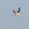 Ferruginous Hawk in Flight