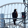 Harris's Hawk at Sweetwater Wetlands