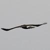 Harris's Hawk Flying Away from Us