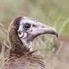 Hooded Vulture Portrait