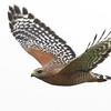 Red-shouldered Hawk in Flight, Struve Slough East, Watsonville, Santa Cruz County, CA, 20-Sep-2014