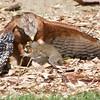 #5. Red-shouldered Hawk re-captures squirrel.  Vasona Lake County Park, Santa Clara County, CA, 11-Sept-2014