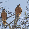 Red-shouldered Hawks - They see the Bald Eagle Overhead!
