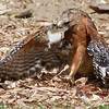#2. Red-shouldered Hawk wrestles with the squirrel.  Vasona Lake County Park, Santa Clara County, CA, 11-Sept-2014