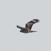 Red-shouldered Hawk, Elkhorn Slough, Monterey County, CA, 10-Sept-2014