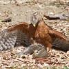 #1. Red-shouldered Hawk grabs a squirrel.  Vasona Lake County Park, Santa Clara County, CA, 11-Sept-2014