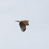 Road-side Hawk