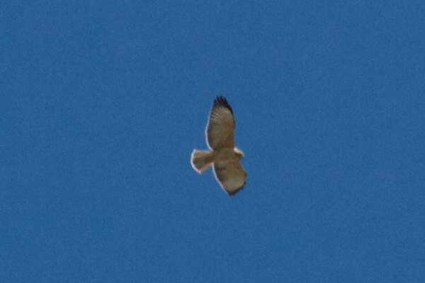 Short-tailed Hawk above Barfoot Meadow