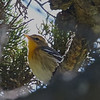 Female Blackburnian Warbler in a Cypress Tree Near the Residence at the Fish Docks