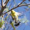 Magnolia Warbler (Setophaga magnolia)