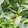Male Olive-crowned Yellowthroat