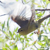 Orange-crowned Warbler, Yuba Pass Campground, 10-June-2014