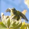 Juvenile Orange-crowned Warbler