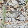 Palm Warbler (Western)