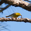 Pine Warbler with Worm