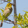 Prairie Warbler rufous on back side
