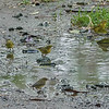 Yellow Warblers at a Puddle